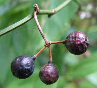Common Greenbrier Fruit