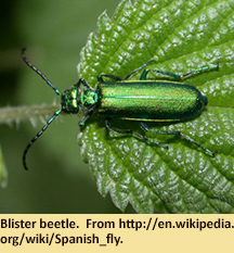 Blister beetle.  From http://en.wikipedia.org/wiki/Spanish_fly.